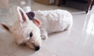 Latte Westie Sleeping