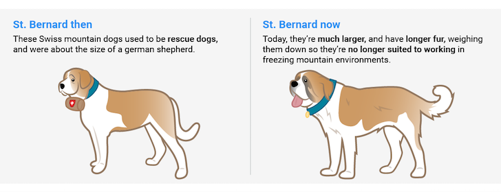 Saint Bernard Before And After 100 years | Vanillapup
