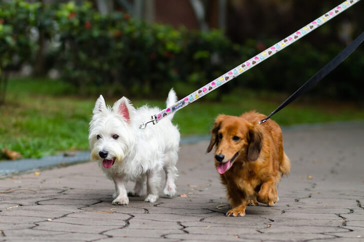 Dogs Walking On-leash | Vanillapup