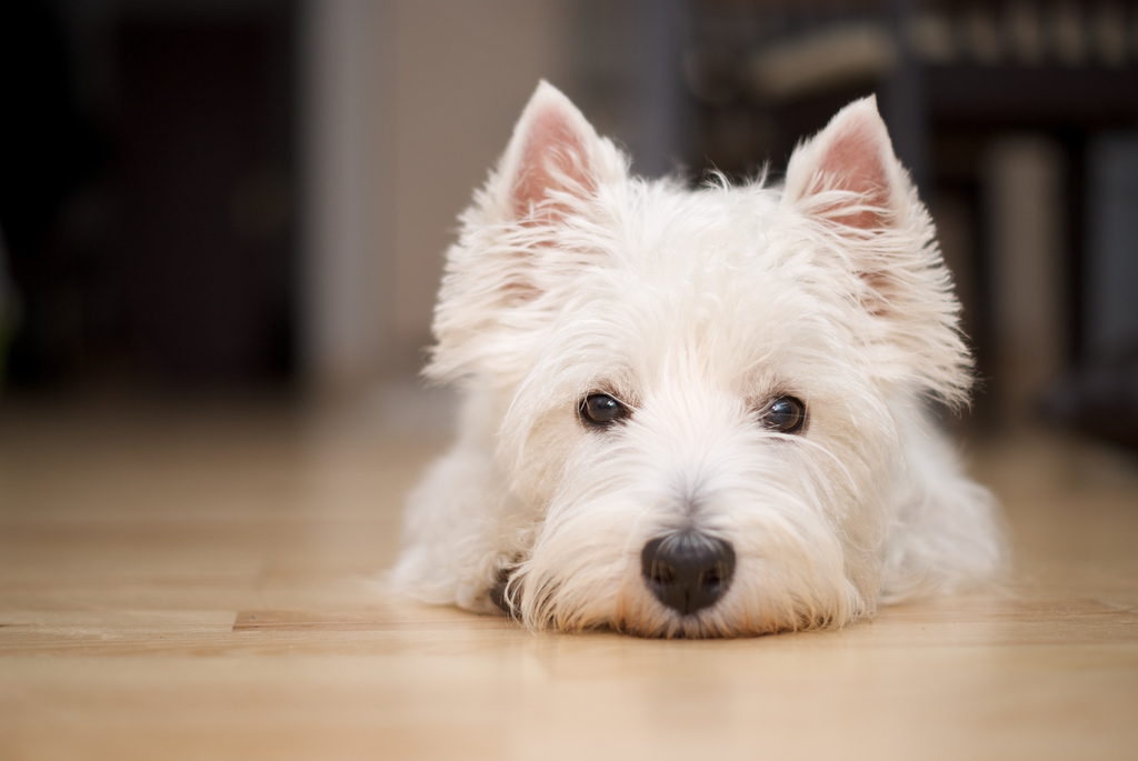Westie Lying Down | Vanillapup