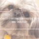 Red Eye in Dogs Shih Tzu | Vanillapup