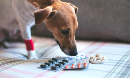How to Feed Your Dog a Pill | Vanillapup