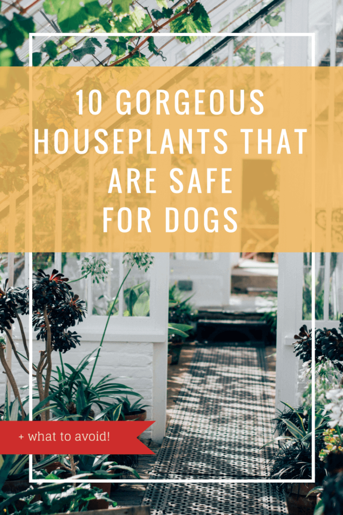 10 Gorgeous Houseplants that are Safe for Dogs | Vanillapup