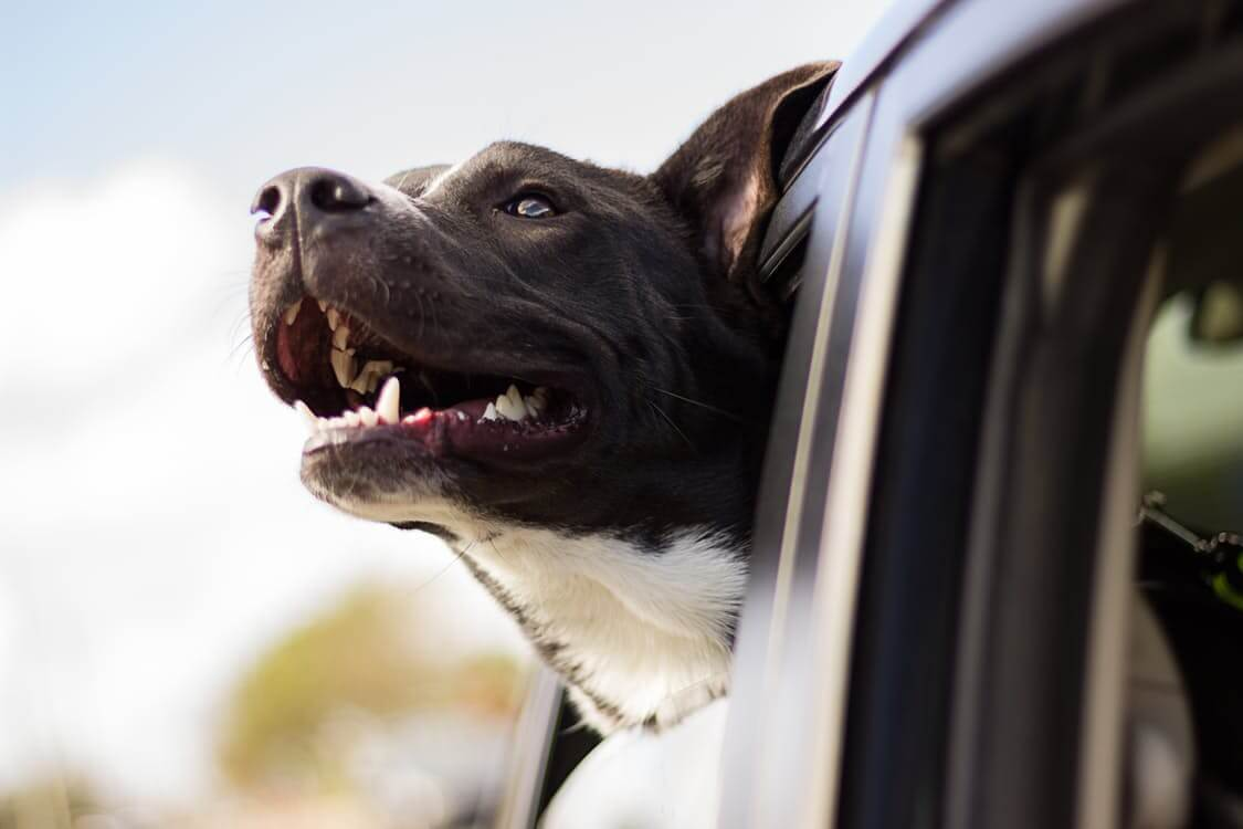 Dog Enjoying a Car Ride | Vanillapup