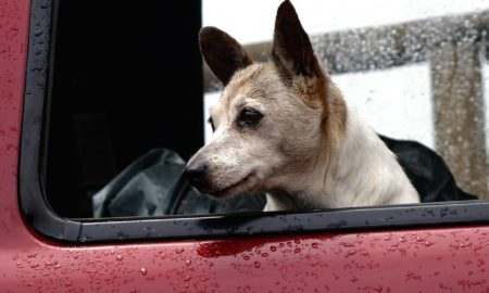 Dog in the Car During Rainfall | Vanillapup