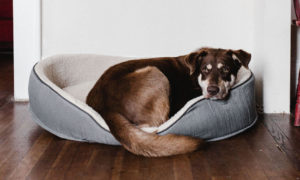 Dog on bed | Vanillapup