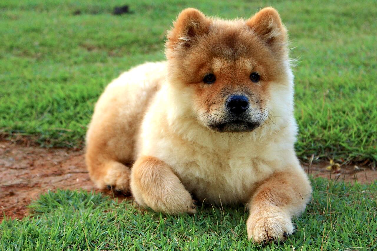 Chow Chow Puppy | Vanillapup
