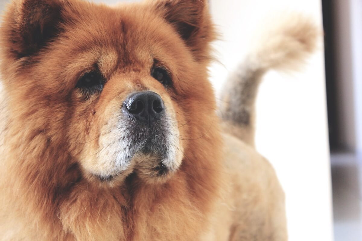 Chow Chow Dog Breed | Vanillapup