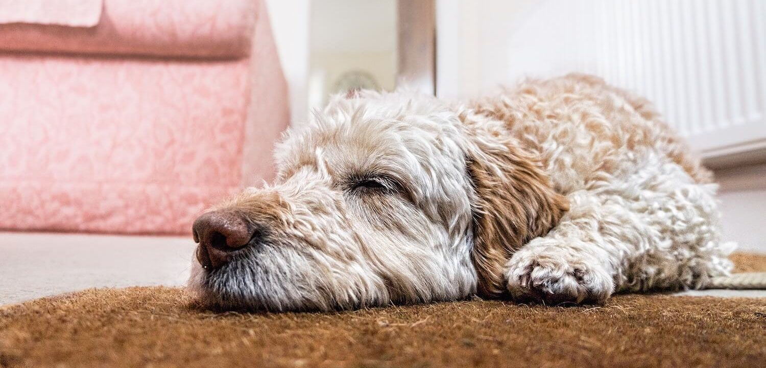 Dog Sleeping at Home | Vanillapup
