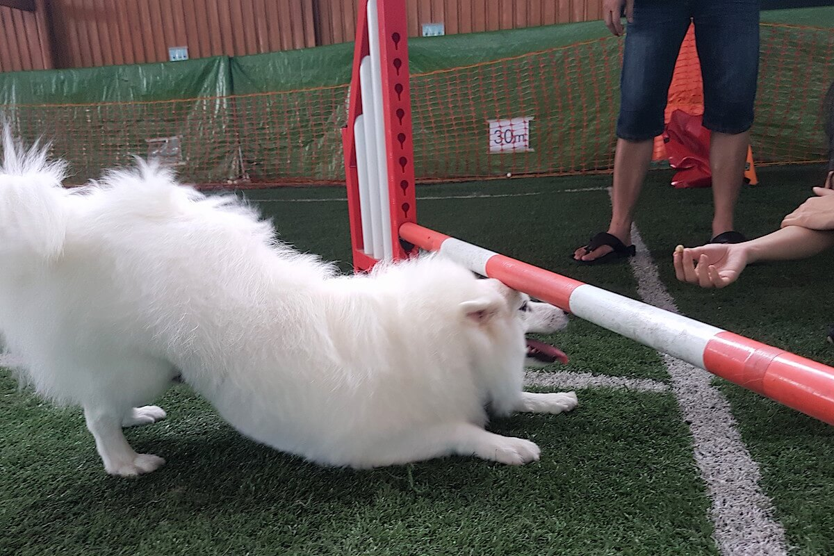 Leo Cheating at Singapore Indoor Dog Agility Arena 2 | Vanillapup