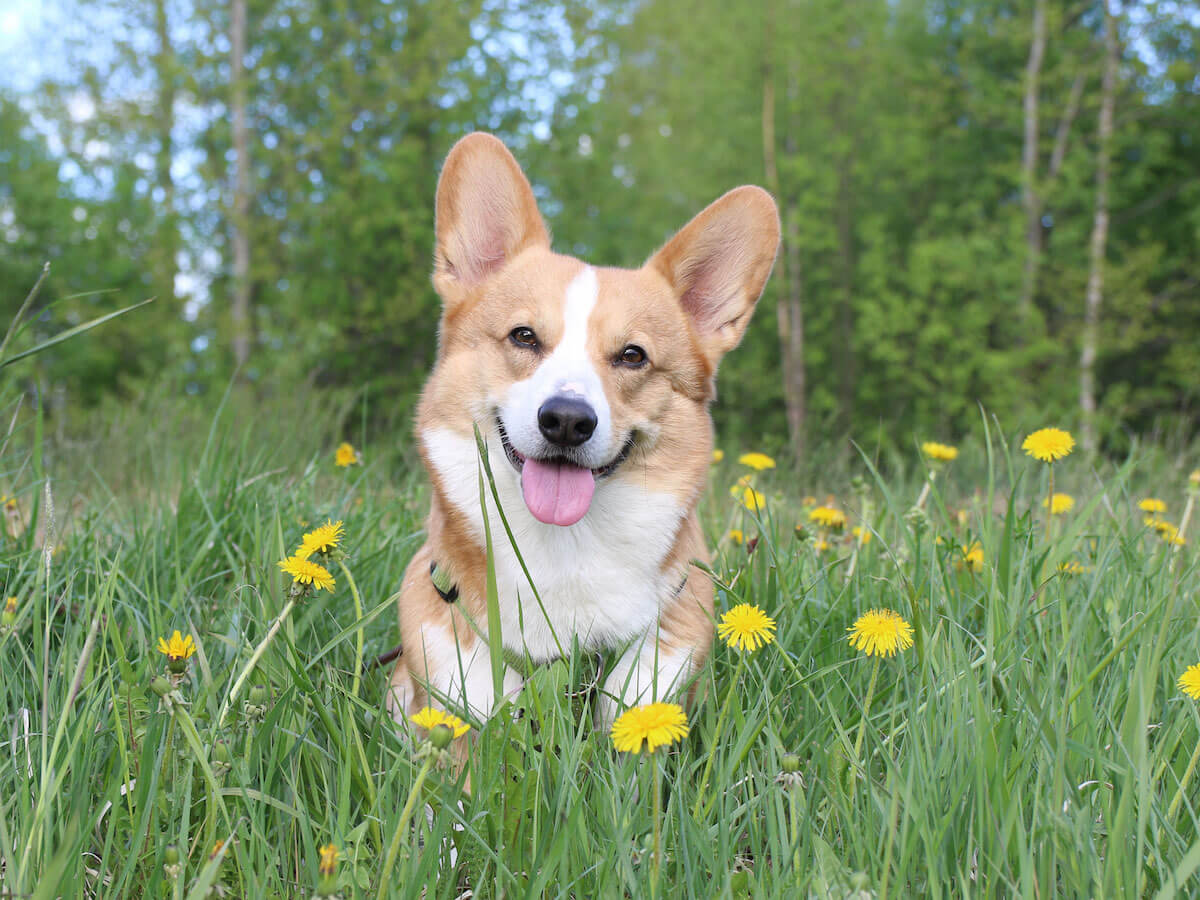 Topi the Corgi | Vanillapup