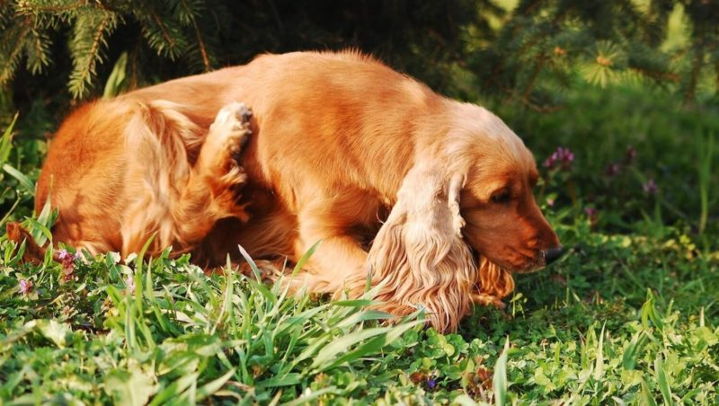 Causes of Dog Skin Problems | Vanillapup